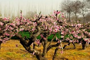 blooming-peach-tree